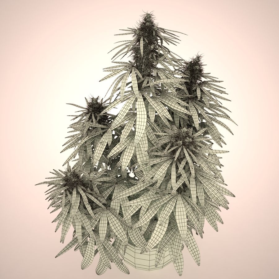 Cannabis Sativa Home Plant royalty-free 3d model - Preview no. 11