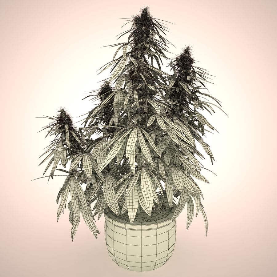 Cannabis Sativa Home Plant royalty-free 3d model - Preview no. 3