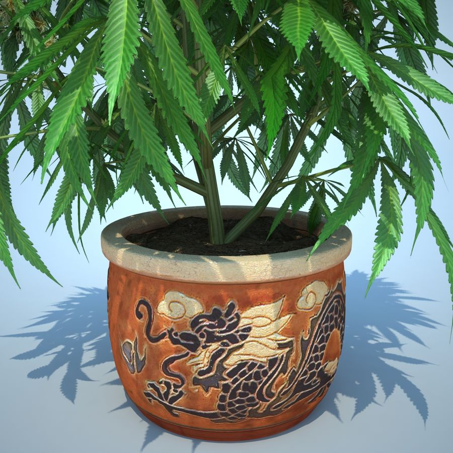 Cannabis Sativa Home Plant royalty-free 3d model - Preview no. 18