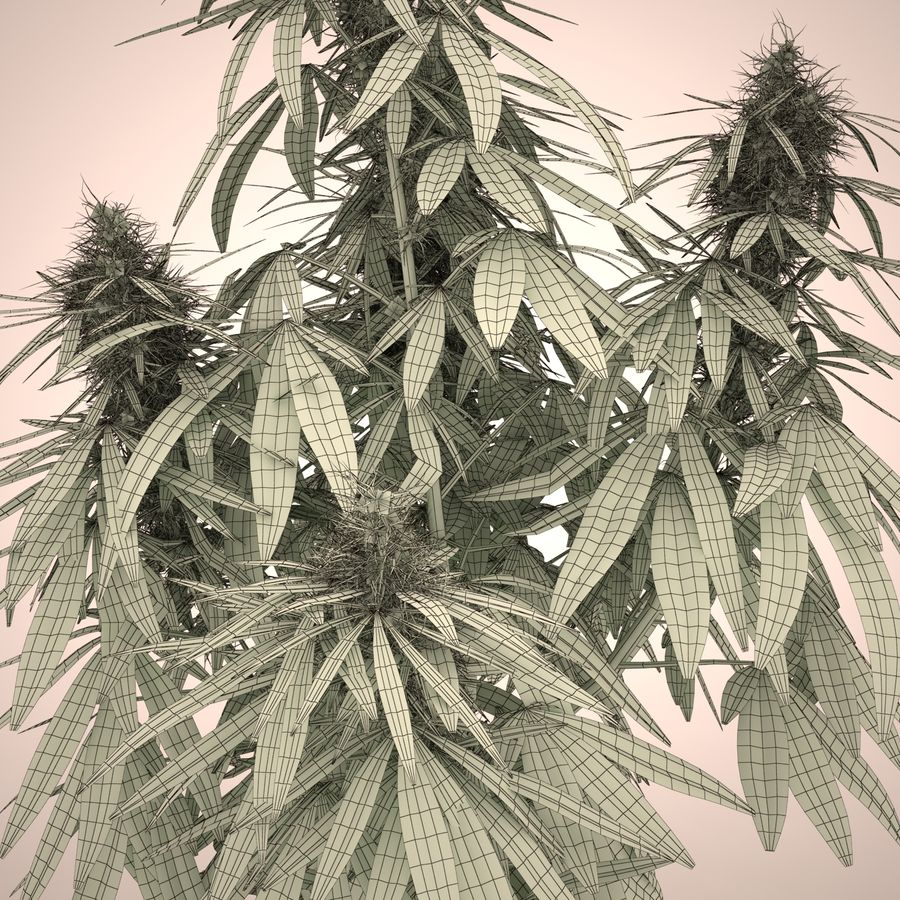 Cannabis Sativa Home Plant royalty-free 3d model - Preview no. 15