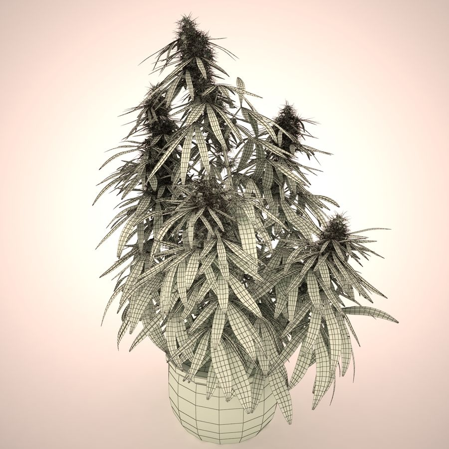 Cannabis Sativa Home Plant royalty-free 3d model - Preview no. 5