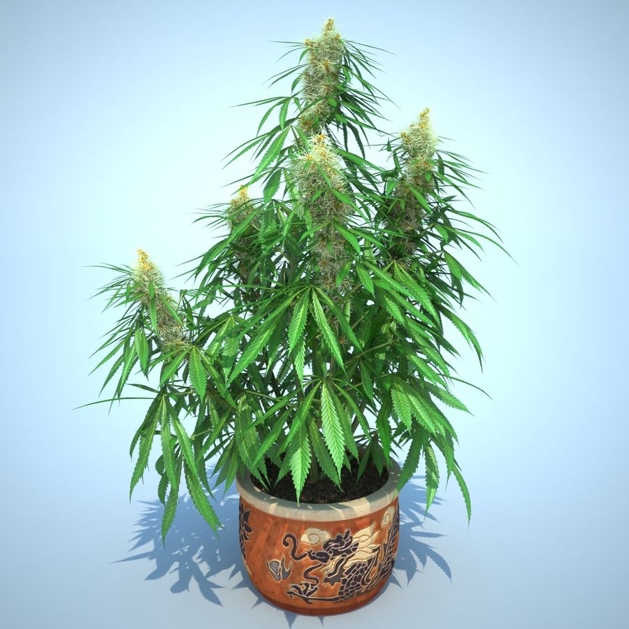 Cannabis Sativa Home Plant royalty-free 3d model - Preview no. 2
