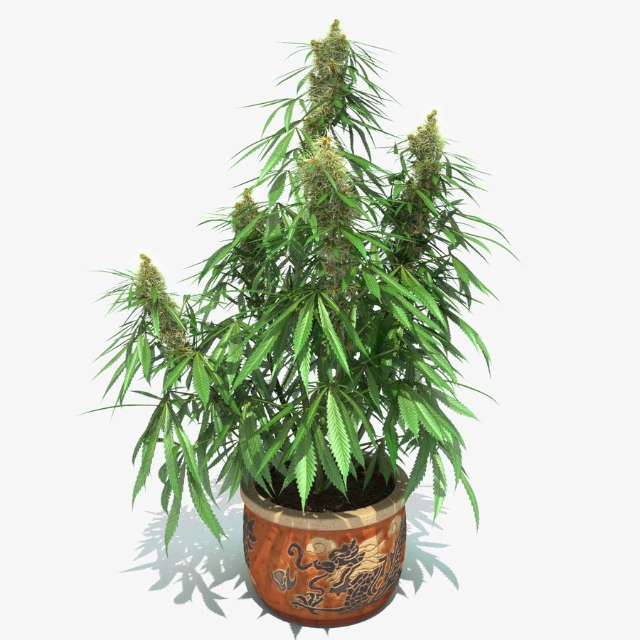 Cannabis Sativa Home Plant royalty-free 3d model - Preview no. 1