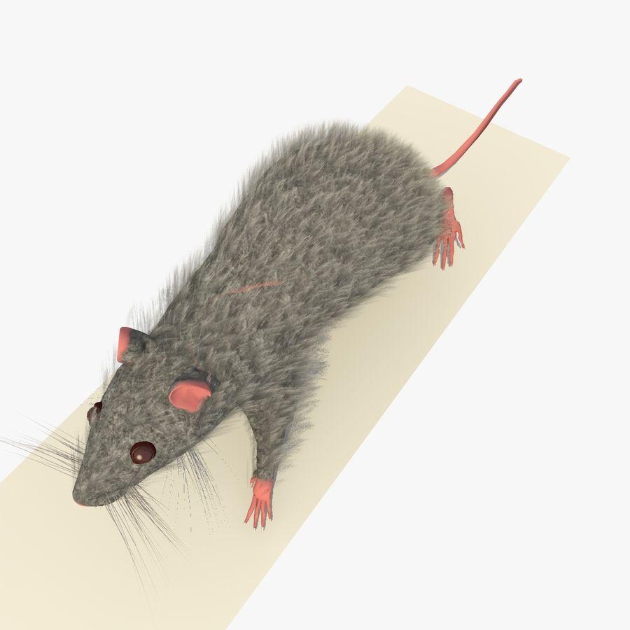 Крыса / Мышь Серый Ходьба Поза royalty-free 3d model - Preview no. 6