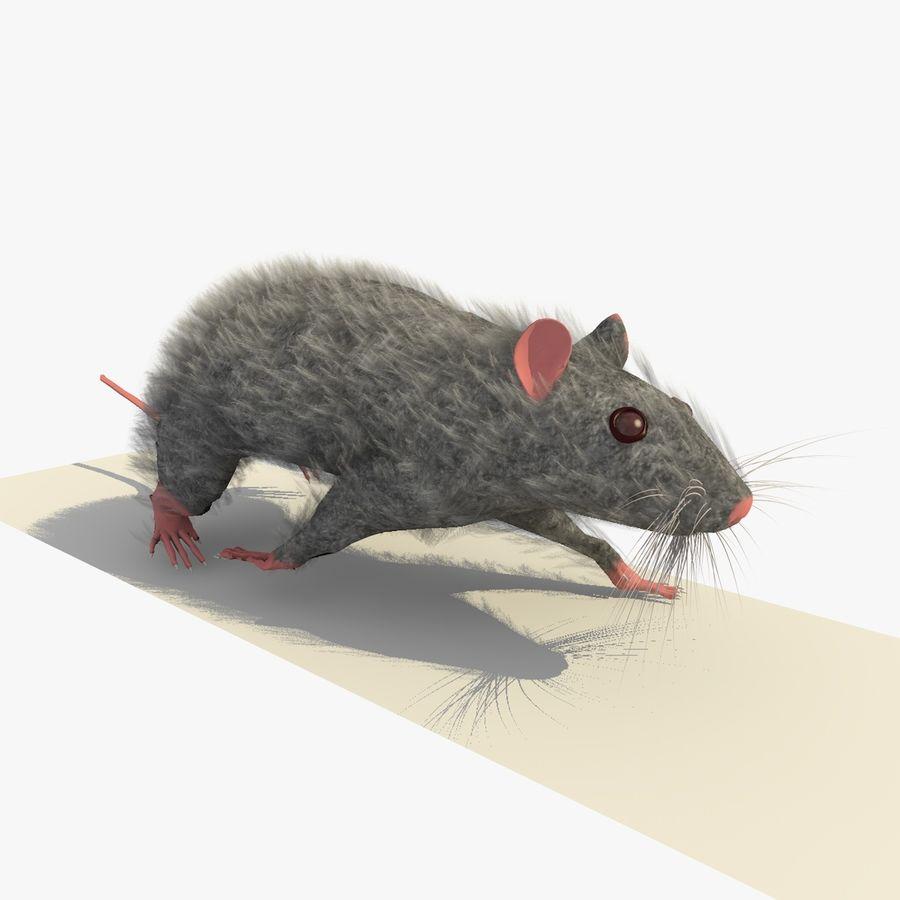Крыса / Мышь Серый Ходьба Поза royalty-free 3d model - Preview no. 5
