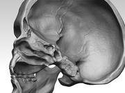 基本的な頭蓋骨 3d model