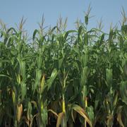 Campo de maíz modelo 3d