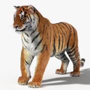 Tiger (Rigged, Fur) 3d model