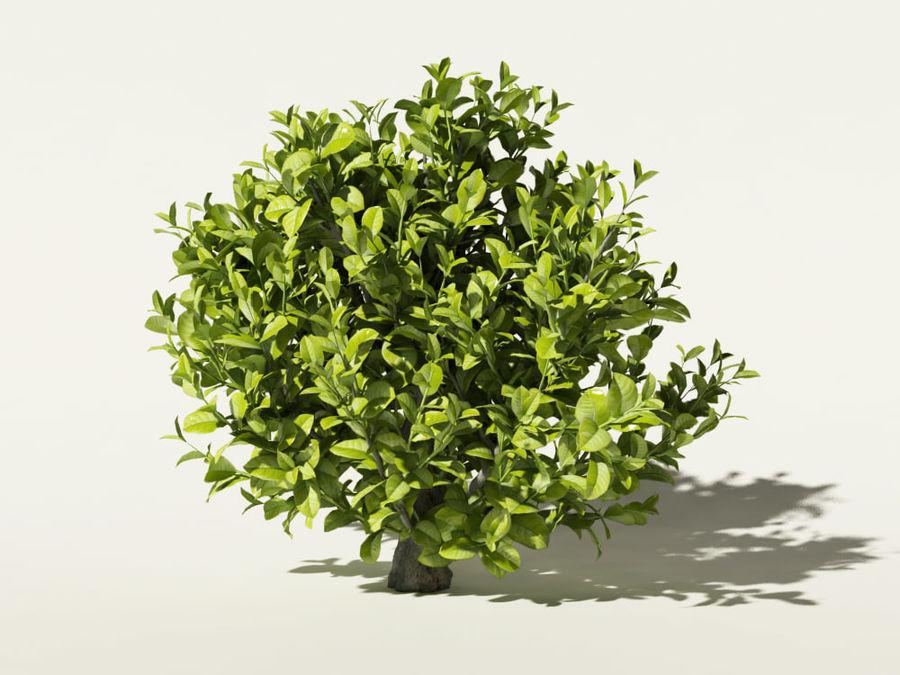 Kamelya sinensis çay ağacı royalty-free 3d model - Preview no. 2