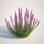 千屈菜(Lythrum Salicaria) 3d model