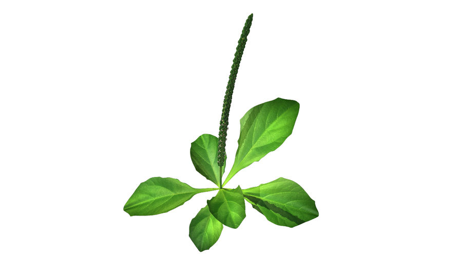 Plantago Plant royalty-free 3d model - Preview no. 1