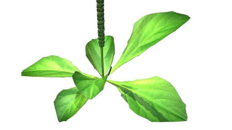 Plantago Plant royalty-free 3d model - Preview no. 2