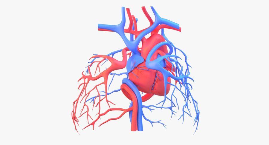 Heart Circulatory(1) royalty-free 3d model - Preview no. 2