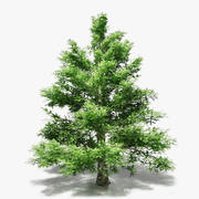 Spruce Pine 3d model