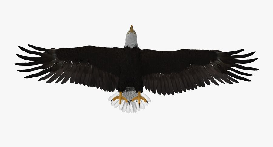 Bald Eagle T Pose royalty-free 3d model - Preview no. 7