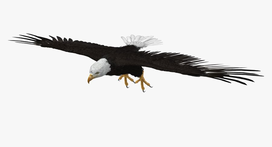 Bald Eagle T Pose royalty-free 3d model - Preview no. 2