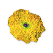 Yellow Discosoma Mushroom Coral 3d model