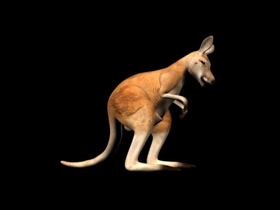 Kangaroo 3D Model Rigged Animated royalty-free 3d model - Preview no. 11