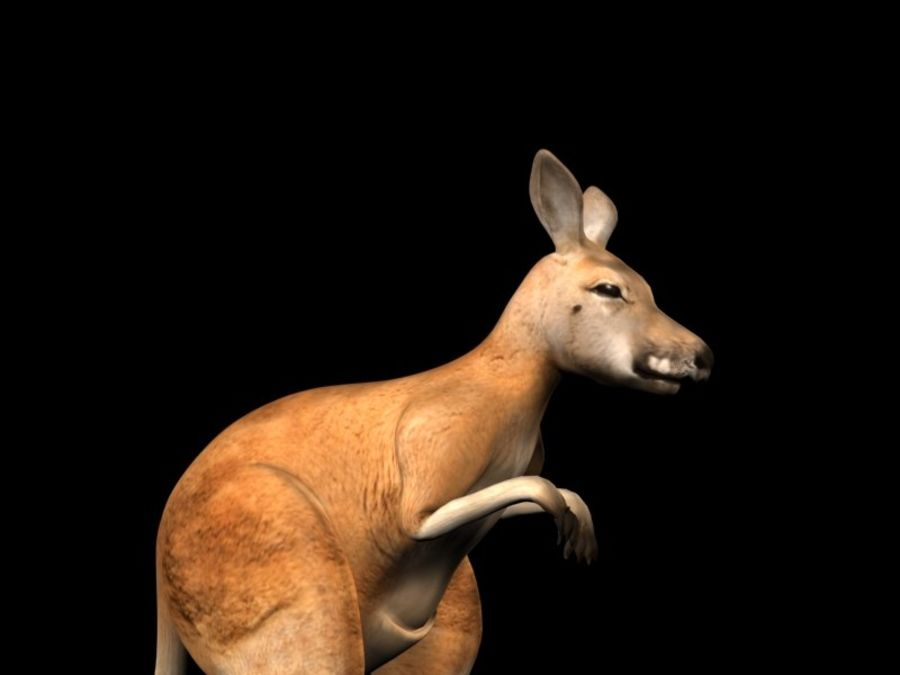 Kangaroo 3D Model Rigged Animated royalty-free 3d model - Preview no. 6