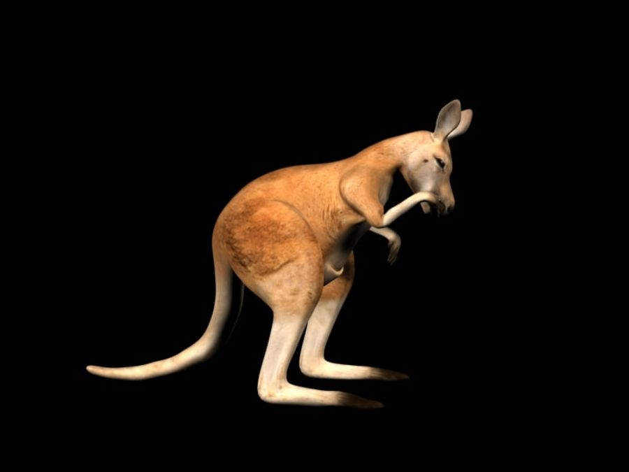 Kangaroo 3D Model Rigged Animated royalty-free 3d model - Preview no. 9
