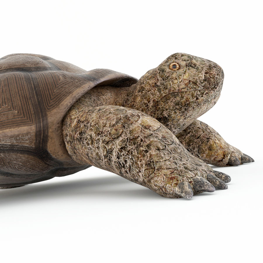 черепаха royalty-free 3d model - Preview no. 5