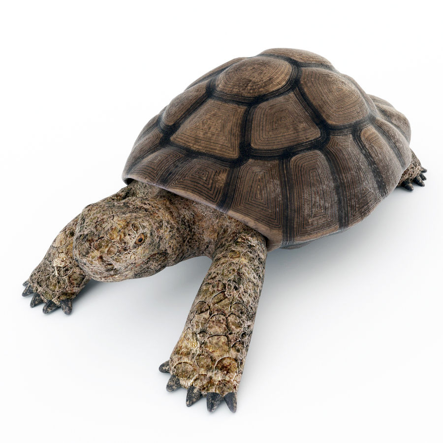 черепаха royalty-free 3d model - Preview no. 4