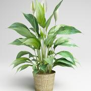 Spathiphyllum, Spath, peace lilies 3d model