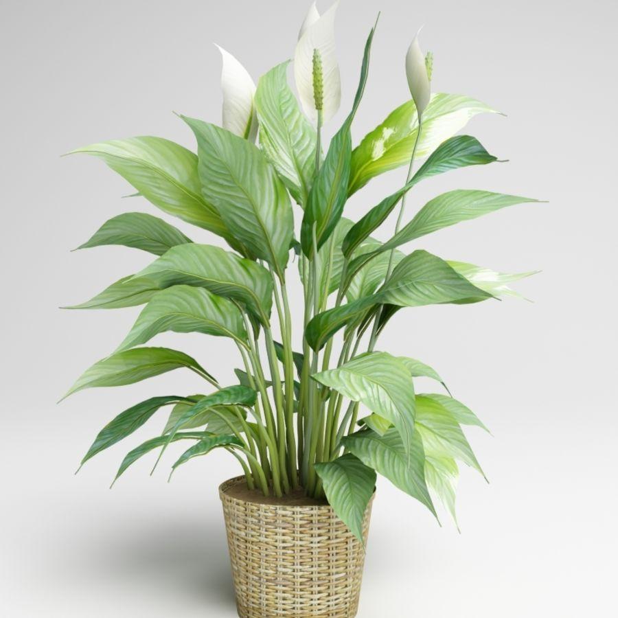 Spathiphyllum,Spath,和平百合 royalty-free 3d model - Preview no. 2
