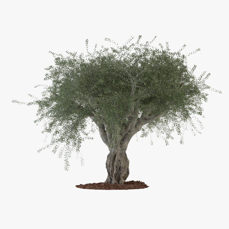 Grote sier olijfboom royalty-free 3d model - Preview no. 1