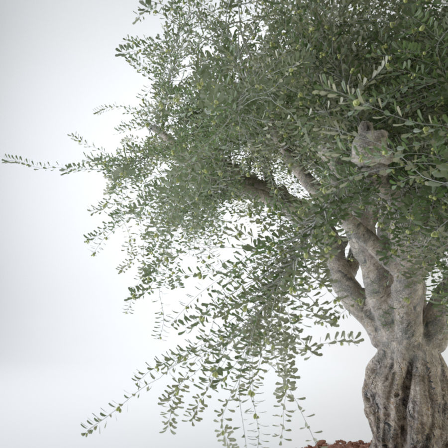 Grote sier olijfboom royalty-free 3d model - Preview no. 14