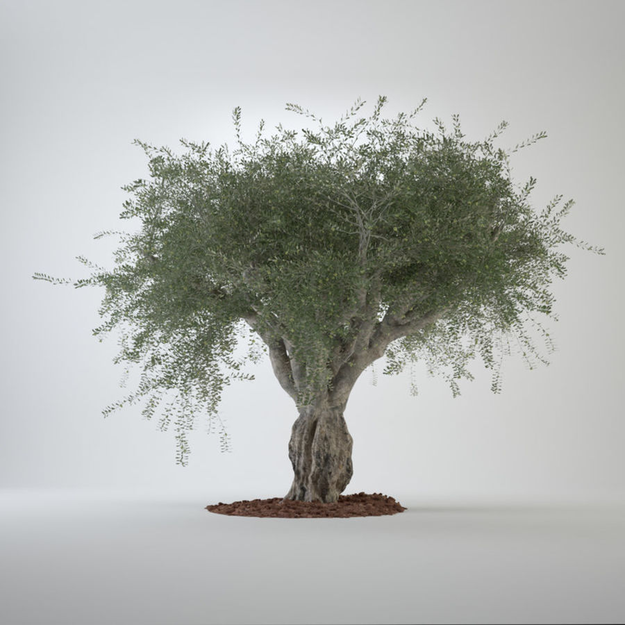 Grote sier olijfboom royalty-free 3d model - Preview no. 2
