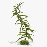 Young Fern 3d model