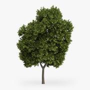 Yunan Akça Ağaç 8m 3d model