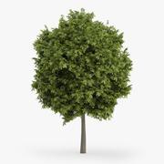 Yunan Akça Ağaç 4.5m 3d model