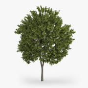 Yunan Akça Ağaç 9m 3d model