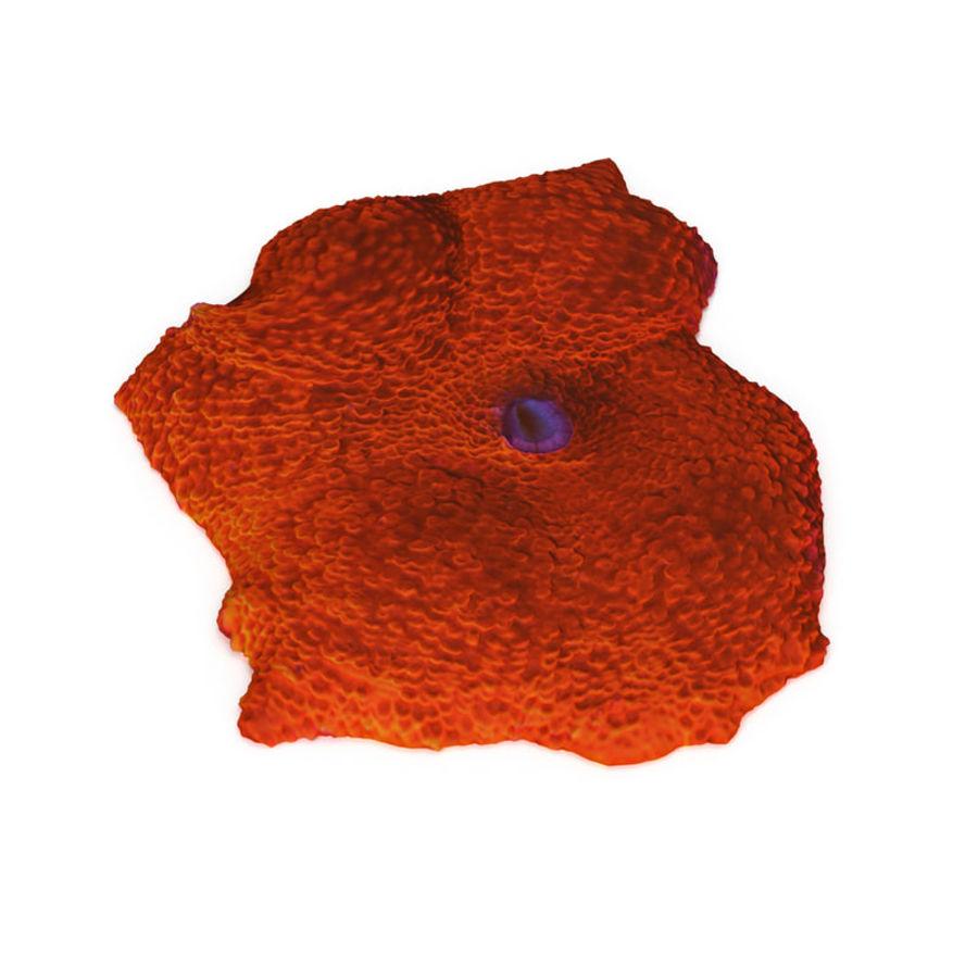 Orange Discosoma Pilzkoralle royalty-free 3d model - Preview no. 4