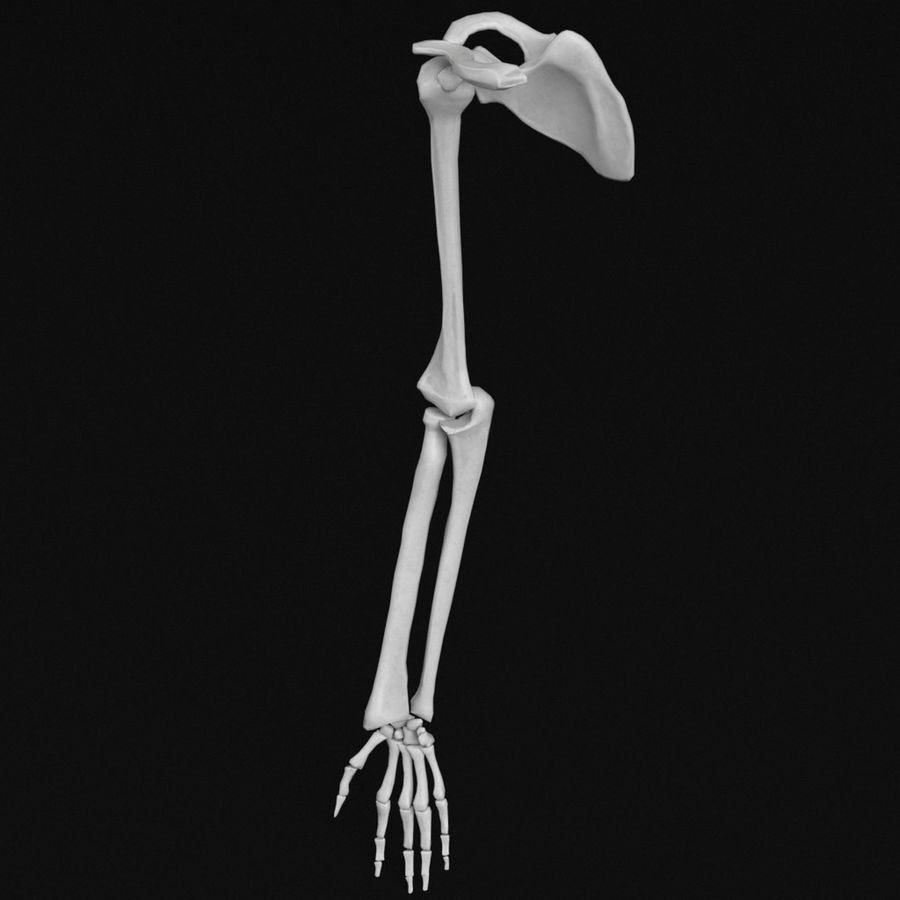 Anatomy - Hand and arm bones royalty-free 3d model - Preview no. 2