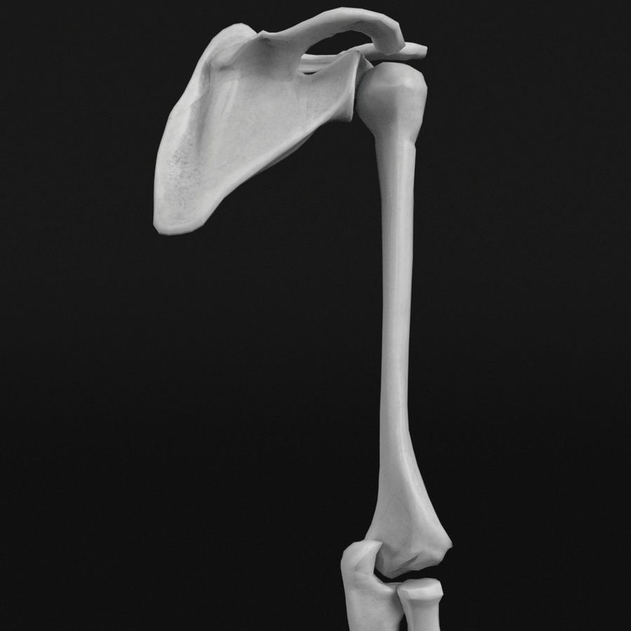Anatomy - Hand and arm bones royalty-free 3d model - Preview no. 4