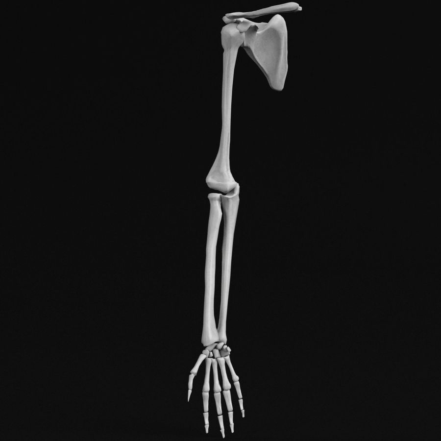 Anatomy - Hand and arm bones royalty-free 3d model - Preview no. 1