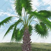 墨西哥扇棕榈 3d model