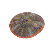 Plate Coral 02 3d model