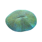 Plate Coral 11 3d model