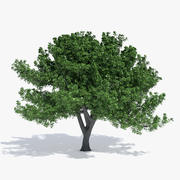 橡树 3d model