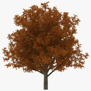 White Oak Tree Autumn 3d model