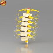 腰椎n脊髄 3d model