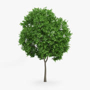 Norway Maple Tree 8m 3d model