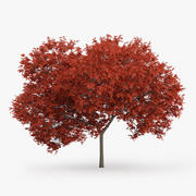 Red Maple Tree 7.5m 3d model