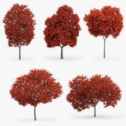 5 kırmızı akçaağaç 3d model