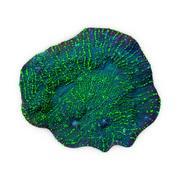 圣杯珊瑚11 3d model