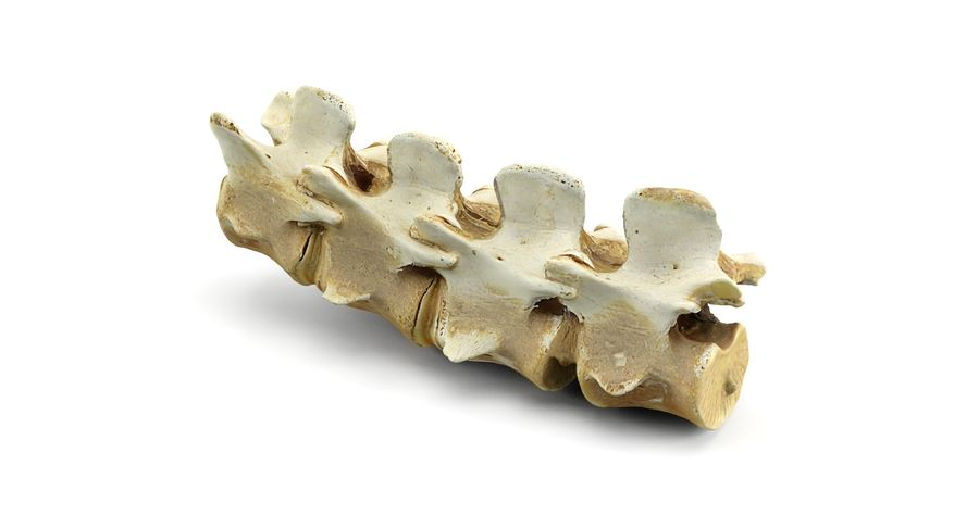 Animal Spine royalty-free 3d model - Preview no. 6